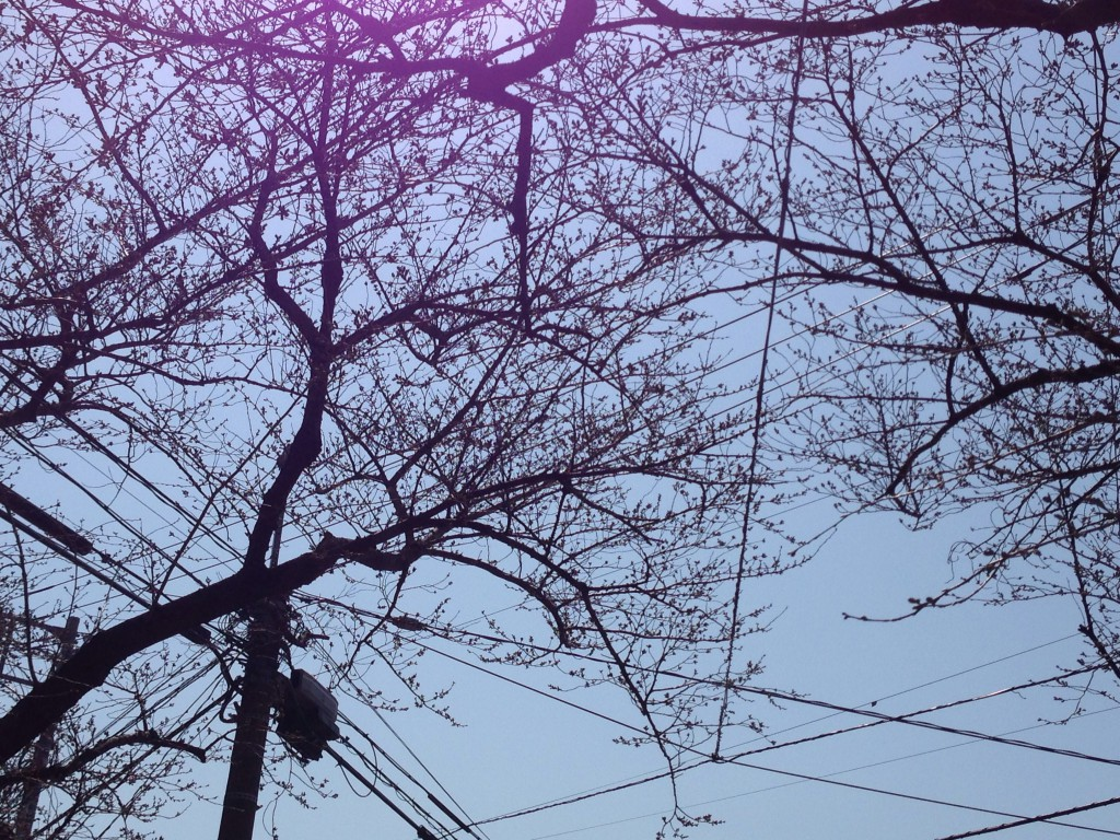 上北沢 桜並木