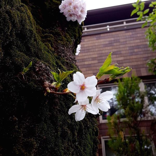 上北沢桜まつり(桜の花)
